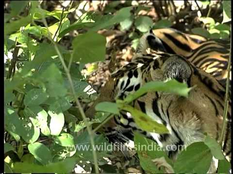 Tiger in the woods of India