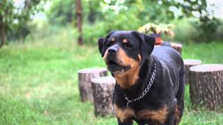 Rottweiler barking very scary