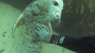 Wild seal pups play with divers