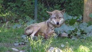 """Wolf dominance dynamics, submissive behaviour by """"omega wolf"""" -  9 May 2017, Tiergarten Worms"""