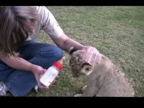 Playing with lion cubs in South Africa