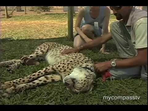 Cheetah – The World's Fastest Cat
