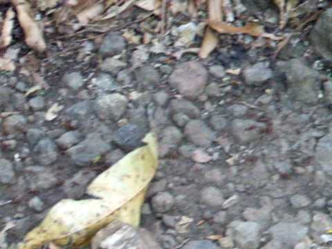 Nicaragua – Isla Ometepe- Ants marching