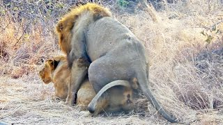 Lions Mating Next to the Road - Extreme Close Up width=