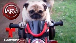 Un perrito de Tailandia es todo un motociclista   Al Rojo Vivo   Telemundo