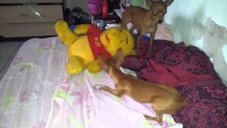 Video proibido para cachorros menores de 2 anos