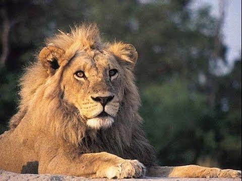 Lions of the Kruger National Park