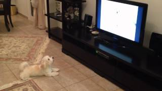 Maltese puppy barking at another puppy on YouTube