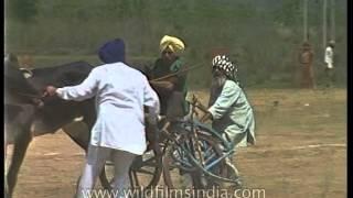 Bullock cart racing CRASH in Punjab!