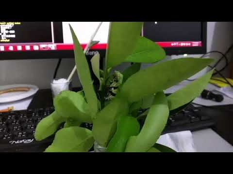 無尾鳳蝶化蛹720x480 - YouTube