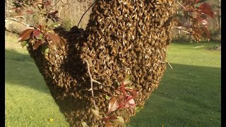How to Capture a Bee Swarm in 27 seconds!
