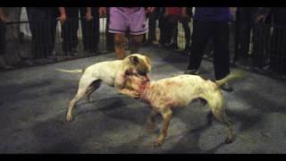 [ Combattimenti tra Cani ] Intervista a Ciro Troiano, Responsabile Osservatorio Zoomafia LAV