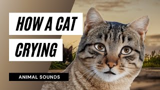 The Animal Sounds: Cat Cry -  Sound Effect - Animation