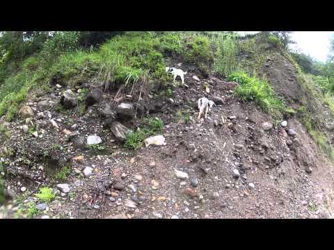 Baby Goats Bleeting in Annapurna, Nepal