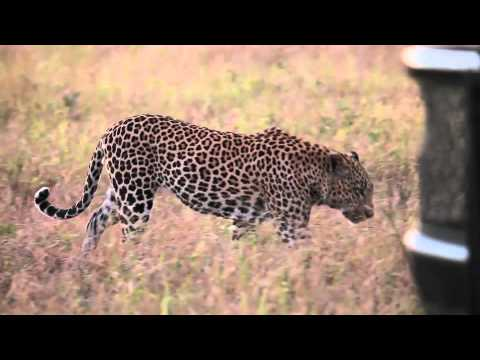 Great Footage: Leopards Mating – Londolozi