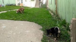 Pitbull rednose vs Chihuahua con yorkie
