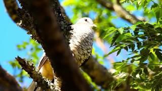O canto da Rolinha Fogo-apagou, Rolinha cascavel, Columbina squammata, Scaled Dove,