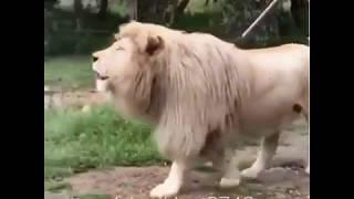 Leão cantando