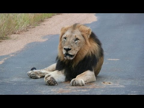 SOUTH AFRICA the big five at Kruger national park (hd-video).