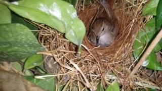 Αηδόνι στη φωλιά ταΐζει μικρά