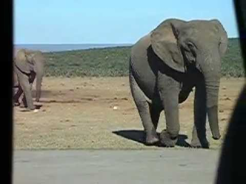 Elephant Close Encounter in South Africa