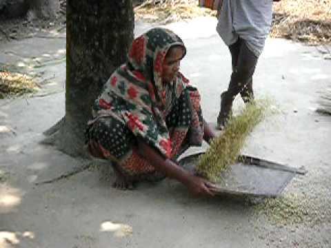 もみをよりわける, Paikara Union, Kalihati, Tangail, Bangladesh