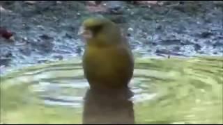 La historia de un verderon común macho