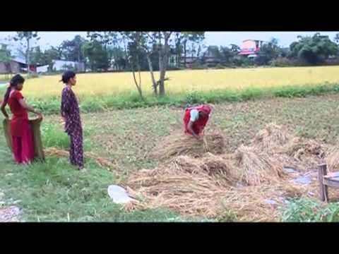 Nepal Rice Harvest
