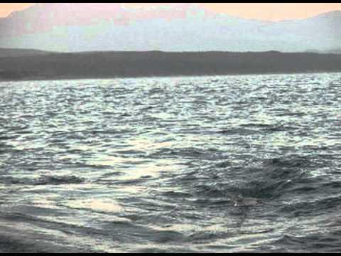 GREAT WHITE SHARK ATTACK DECOY BREACH 31 08 2010