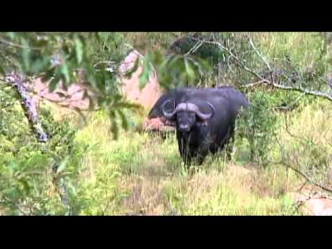 Travel – Mar 2010 – Cape Buffalo in Kruger National Park in So. Africa – Carl W. Farley