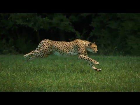 獵豹:完美的跑步機器 - YouTube
