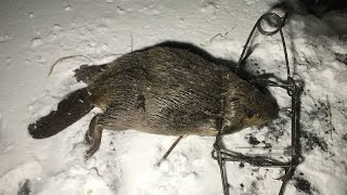 How to Trap a Beaver | Big Bidness Outdoors