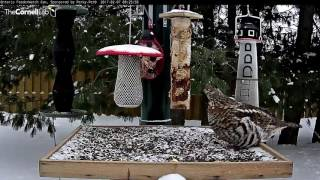 Startling Blue Jay Call Gets Grouse Moving – Feb. 7, 2017