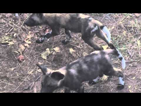 Exeter River Lodge Wild (Painted) Dog feeding young pups at den
