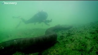 Would you swim with an anaconda? This man did!