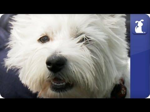 Doglopedia - Westie