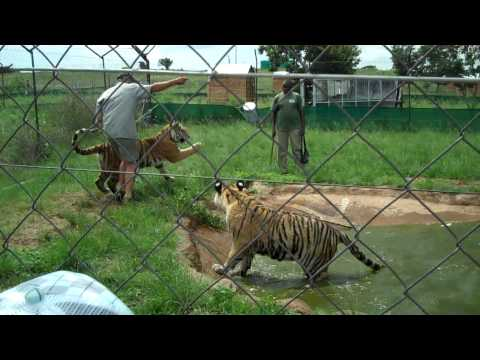 Fun With Tigers Part 2