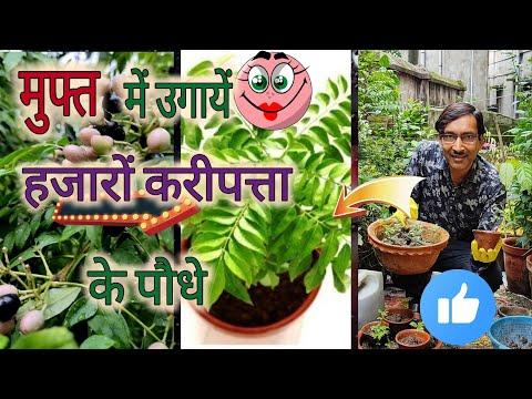 कारी पत्ता का पौधा लगाना है सबसे आसान / Easiest way of Growing Curry leaf Plant