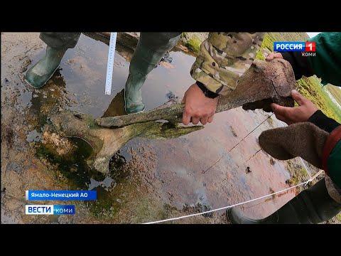 На Ямале обнаружены останки мамонта