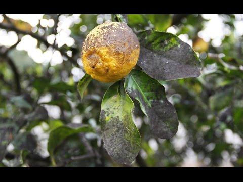Come curare il mal della cenere e la fumaggine degli - Malattie limone fumaggine ...