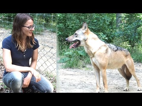 Should we be scared of wolves?