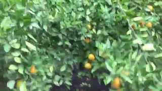 FULLY LOADED TANGERINE TREE (aka cuties, mandarines.. yumm)