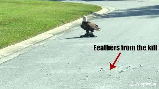 Bald Eagle Takes Down Water Turkey!!!