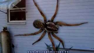 Angolan Witch Spider Found In Florida Youtube