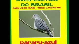 paruru-azul : AVES EXÓTICA DO BRASIL