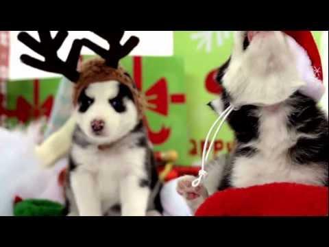 Świąteczne Husky