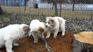 Bukovina Tatry central asian shepherd Dog   , Stredoázijský ovčiak