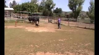 Brigadier z Diehlomov first time working cattle