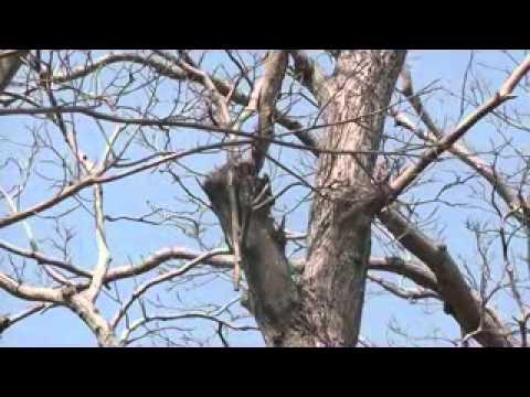 Nicaragua Ometepe Eekhoorn xvid