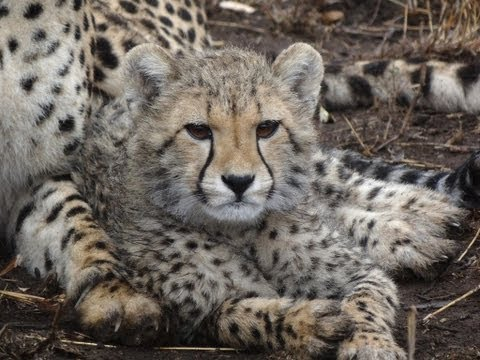 Safari 2011: Lions and cheetahs and cubs